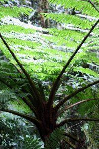 Cyathea, tree fern,