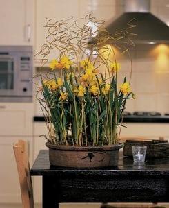 daffodil Jet Fire
