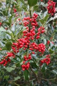 Holly, red berries, Ilex
