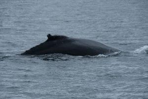 The Alaskan Inside Passage, alaska, humpback, whale