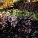 The Dell Garden, Saxifrage, Saxifraga, garden, plant